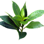 Tea Tree Essential Oil 1oz